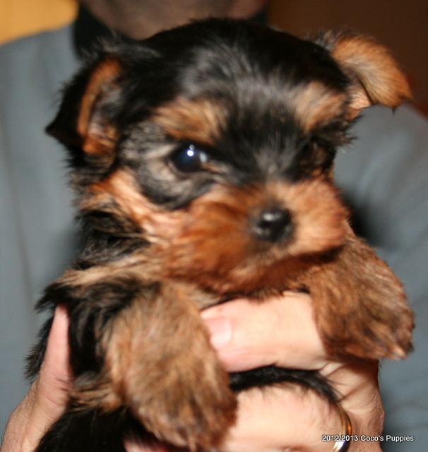 Available Yorkie Puppies - Welcome to Beach Yorkies
